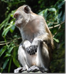 Macaque Monkey - Batu Caves