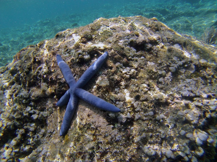 "Starfish - not sure if these are the ""good"" or ""bad"" starfish but they were huge and looked great."