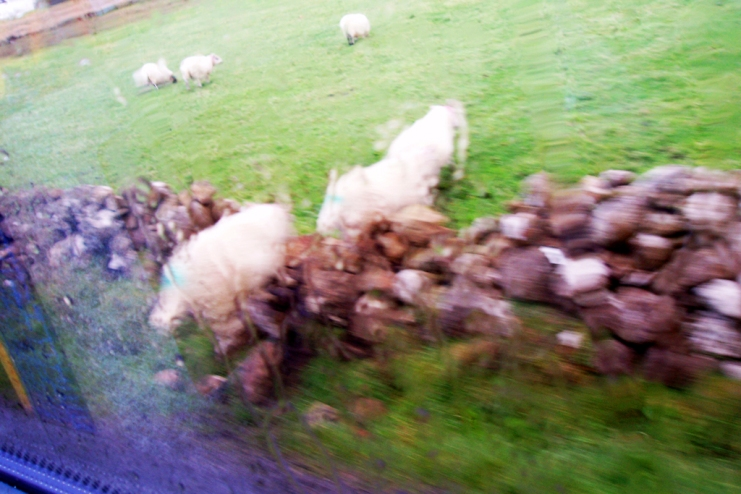 Sometimes it is the blurriest photos that tell the best stories.  This shot back in 2005 while we were on a bus tour of Scotland - the poor little sheep were wandering down a narrow country laneway when our little bus happened across them.  Needless to say they got quite a shock and desperately tried to find any way off the road.  Love this shot, it was such a funny moment and even though the photo is blurry just looking back at it now takes me back that that bus trip.